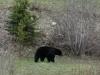 Black Bear near Valemount by Roger Holt