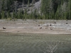 Herd of Caribou near Field in Kicking Horse Pass by Roger Holt